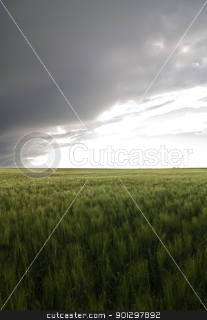 Wheat Field stock photo, Prairie Wheat Field by Tyler Olson