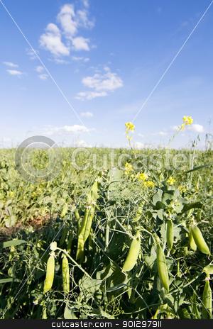 Pea Field stock photo, Pea field in southern Saskatchewan by Tyler Olson