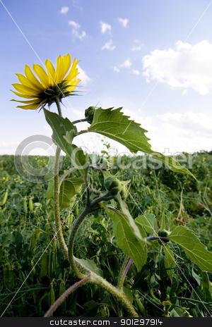 Wild Sunflower stock photo, Wild Sunflower (Helianthus annuus) by Tyler Olson