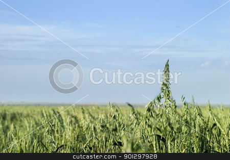 Oats Landscape stock photo, Prairie landscape of an oat field. by Tyler Olson