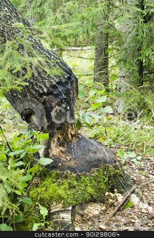 Beaver Cut stock photo, A tree cut down by a beaver by Tyler Olson