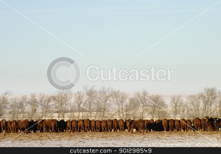 Cattle Row stock photo, A long row of cattle eating at a feedlot. by Tyler Olson