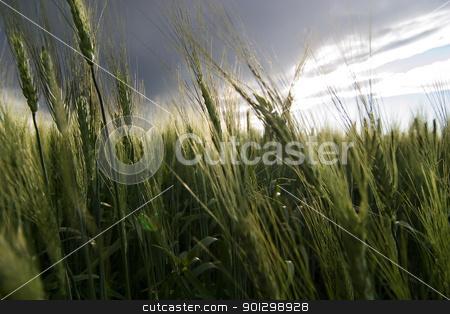 Wheat Field stock photo, Prairie Wheat Field by Tyler Olson