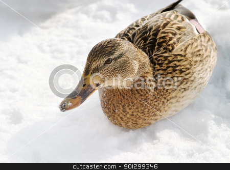 Female Mallard Duck stock photo, A mallard duck on a background of snow and ice. by Tyler Olson