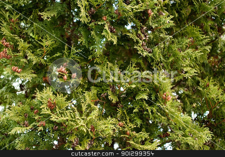 Evergreen Texture stock photo, A green tree texture background image. by Tyler Olson