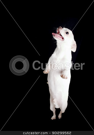 Chiwawa Begging stock photo, A chihuahua begging with copy space. by Tyler Olson