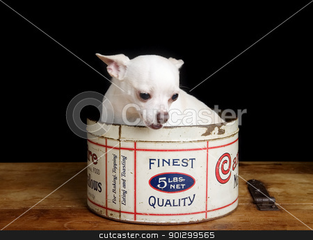 Chiwawa stock photo, A chihuahua posing for the camera by Tyler Olson