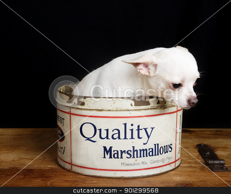Depressed Chiwawa stock photo, A chihuahua looking depressed in a retro marshmallow tin. by Tyler Olson