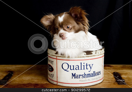 Chihuahua Marshmallows stock photo, A chihuahua posing for the camera in an old fashioned marshmallow tin. by Tyler Olson