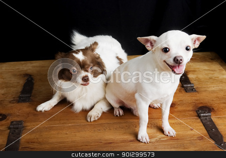 Proud Father stock photo, A soon-to-be father Chihuahua sitting beside a sceptical pregnant soon-to-be mother chihuahua by Tyler Olson