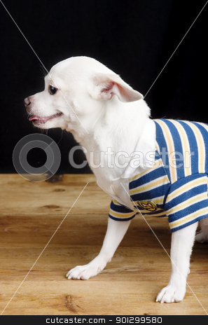 Male Chihuahua in Shirt stock photo, A male Chihuahua posing for the camera in a striped shirt. by Tyler Olson
