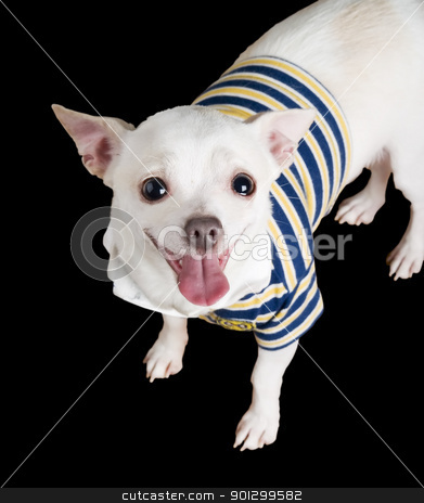 Chiwawa Isolated stock photo, A chihuahua posing for the camera isolated on black. by Tyler Olson