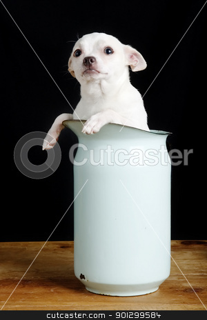 Question stock photo, A chihuahua with a questioning look in it's face. by Tyler Olson