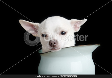 Sad Chiwawa stock photo, A chihuahua looking sad. by Tyler Olson
