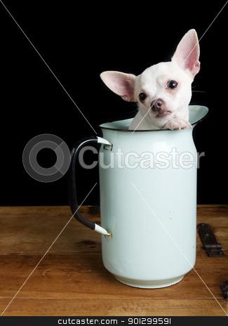 Sad Chihuahua stock photo, A sad chihuahua posing for the camera by Tyler Olson