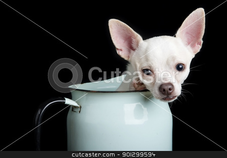 Chihuahua stock photo, A chihuahua posing for the camera by Tyler Olson