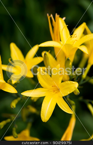 Yellow Lilly stock photo, A yellow lilly flower against a dark green background by Tyler Olson