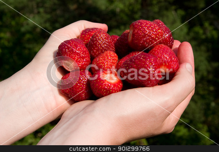 Fresh Picked Strawberries stock photo, A pair of hands holding freshly picked strawberries by Tyler Olson