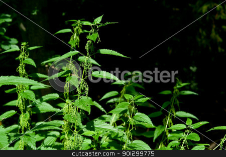 Stinging Nettle stock photo, Detail of a wild stinging nettle plant by Tyler Olson