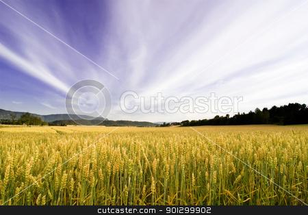 Wheat Field stock photo, A wheat field in a dramatic landscape by Tyler Olson
