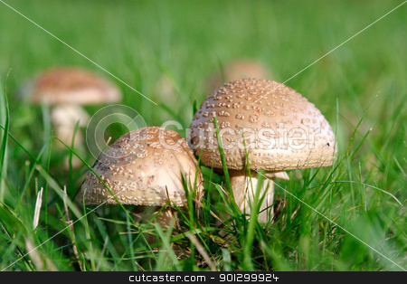 Wild Mushroom stock photo, Two wild mushrooms growing in grass by Tyler Olson