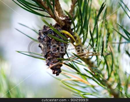 Pine Cone stock photo, Pine cone hanging on a balsam tree by Tyler Olson