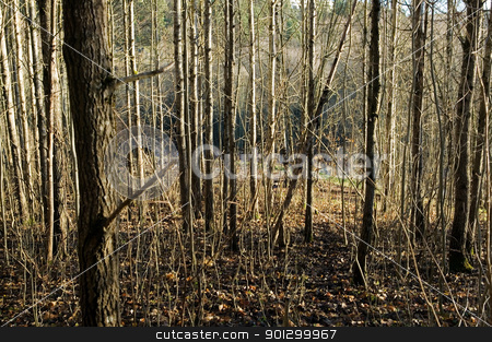 Woods Texture stock photo, A texture background image of many thin trees without leaves. by Tyler Olson