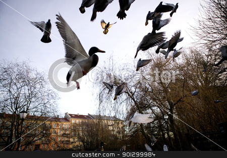 Birds in Flight Sihlouette stock photo, Mallard ducks in flight over the city, captured with motion blur. by Tyler Olson