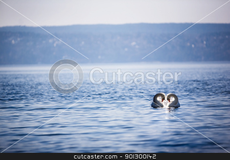 Swan Love stock photo, Two swans swimming close together creating a heart. by Tyler Olson