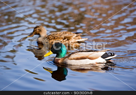 Male and Female Mallard Duck stock photo, A male and female mallard duck peacefully swimming by Tyler Olson
