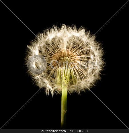 Dandelion Glow stock photo, A dandelion isolated on black by Tyler Olson
