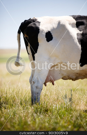 Cow Swatting Flies stock photo, A cow standing in grass swatting flies with it's tail. by Tyler Olson