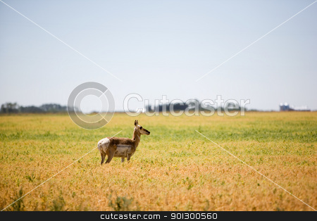 Prairie Antelope stock photo, A prairie antelope in a field standing alert by Tyler Olson