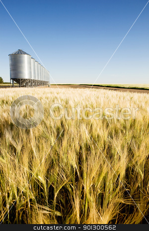 Prairie Harvest stock photo, A wheat field in focus with grain bins in slightly out of focus in the background. by Tyler Olson