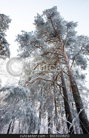 Winter Forest stock photo, A forest in a cold winter by Tyler Olson