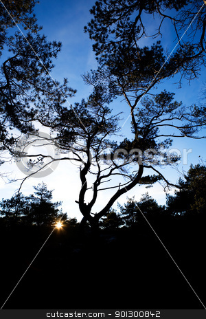 Pine Tree Silhouette stock photo, A group of gnarled pine trees against a bright sunset by Tyler Olson