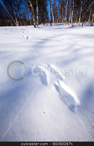 Rabbit Trail in Snow stock photo, Fresh rabbit tracks in snow by Tyler Olson