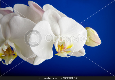 White Orchid stock photo, A white orchid over blue - Phalaenopsis Amabilis Moon Orchid by Tyler Olson