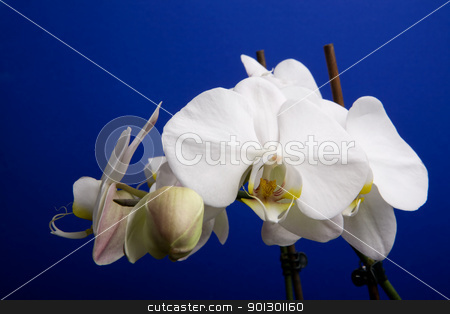 Moon Orchid stock photo, A close up of an orchid flower; Phalaenopsis Amabilis by Tyler Olson