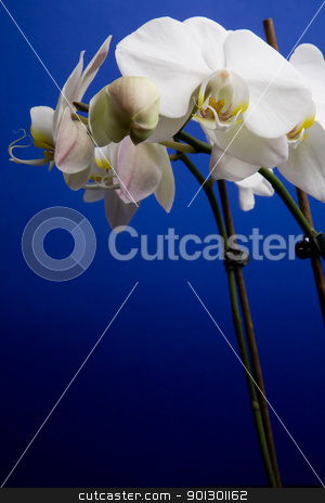 White Orchid stock photo, A white orchid flower on a blue background by Tyler Olson