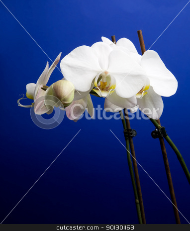 Orchid stock photo, A white orchid over blue - Phalaenopsis Amabilis Moon Orchid by Tyler Olson