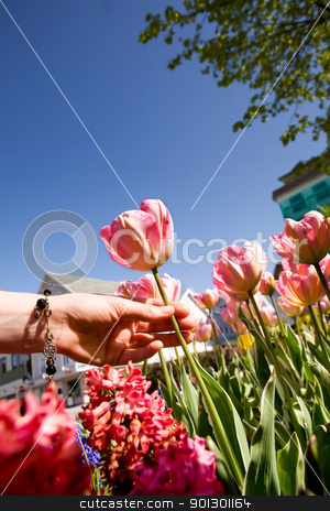 Flower Garden stock photo, A flower garden with tulips being picked by a hand by Tyler Olson
