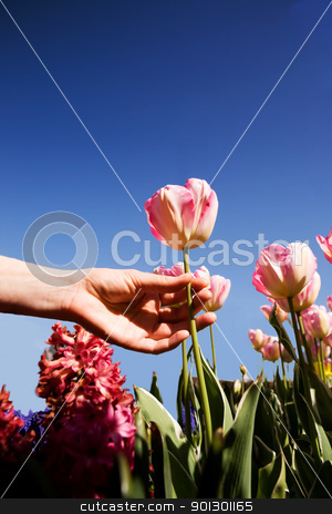 Tulip stock photo, A view of flowers from below with a tulip being picked by Tyler Olson
