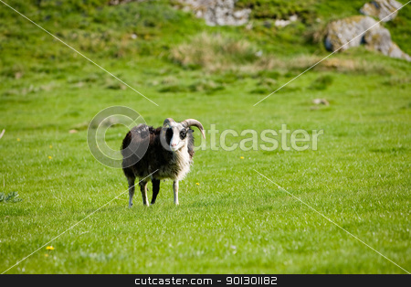Mountain Sheep stock photo, A sheep with horns grazing in the pasture. by Tyler Olson