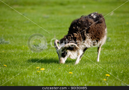 Grazing Sheep stock photo, A side view of a sheep with horns grazing in the pasture. by Tyler Olson