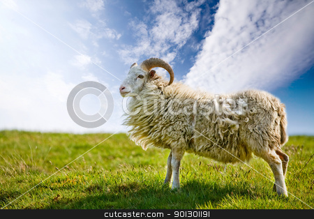 Proud Sheep stock photo, A sheep in a pasture against a blue sky with back lighting. by Tyler Olson