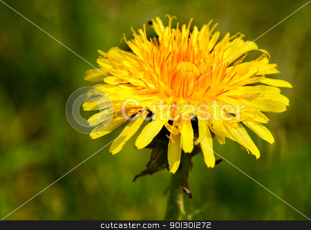 Dandelion Macro stock photo, An isolated dandelion over a green background by Tyler Olson