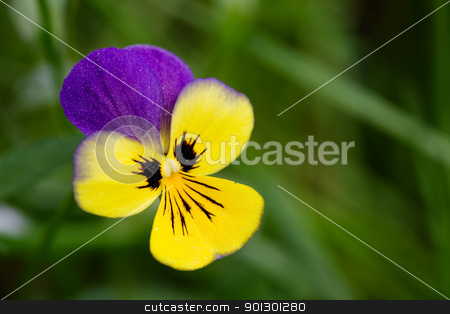 Purple and Yellow flower stock photo, Johnny Jump Up flower or Heartsease macro latin: viola tricolor by Tyler Olson
