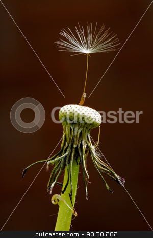 Dandelion Seed stock photo, A single seed left on a dandelion Latin Name: Taraxacum officinale by Tyler Olson