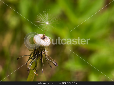 Dandelion Seed stock photo, A single dandelion see with the top hairs in focus by Tyler Olson